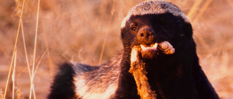 honey badger eating a snake